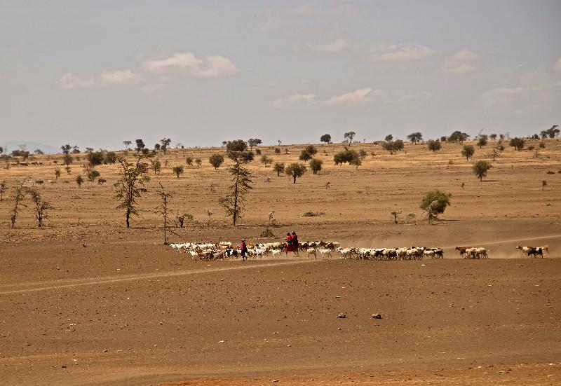 large_Maasai_Cattle_1.jpg