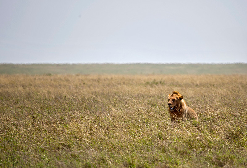 large_Male_Lion_1.jpg