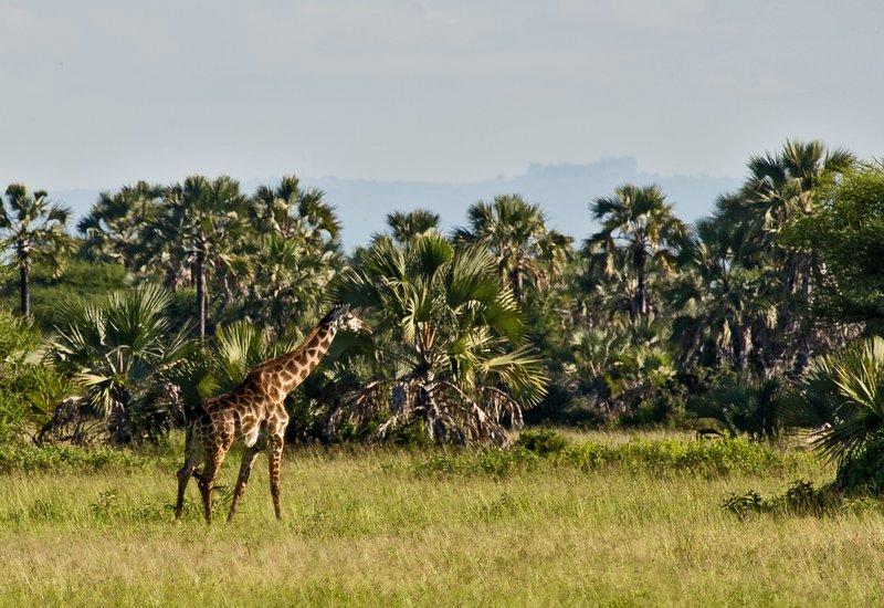 large_Maramboi_-..-_Giraffe_1.jpg