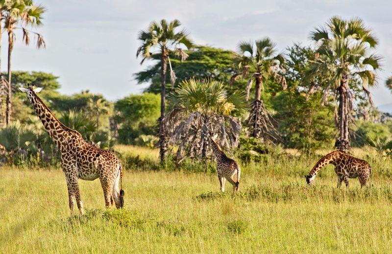 large_Maramboi_-..-_Giraffe_6.jpg