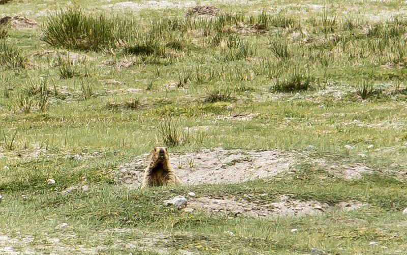 large_Marmot_1.jpg