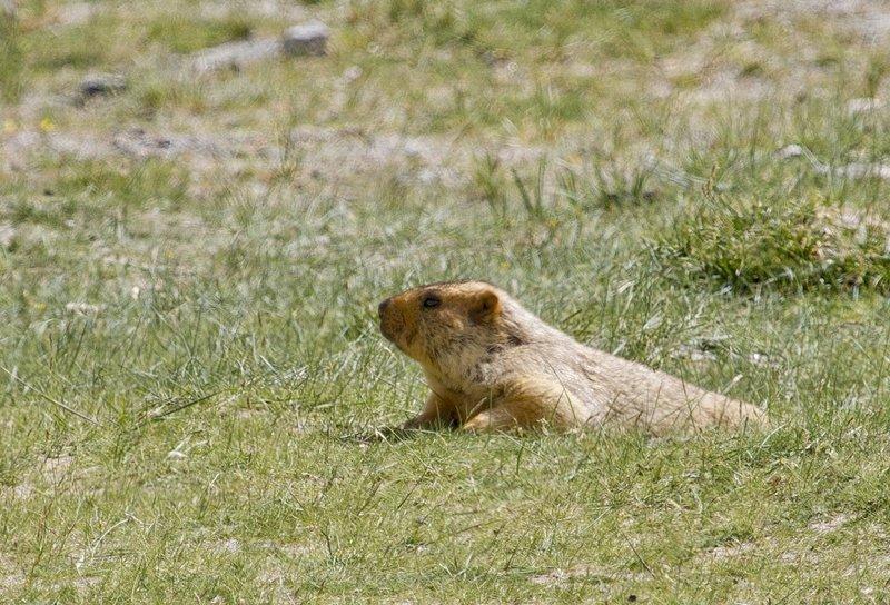 large_Marmot_12.jpg