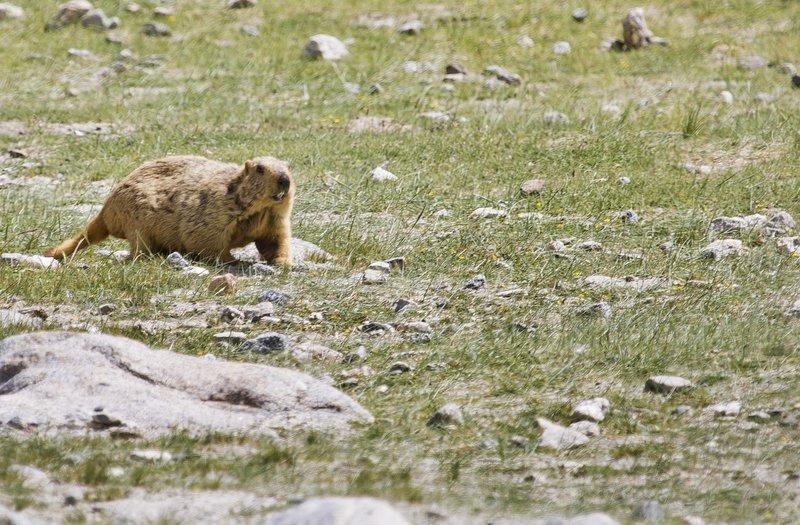 large_Marmot_15.jpg