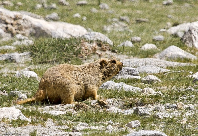 large_Marmot_9.jpg