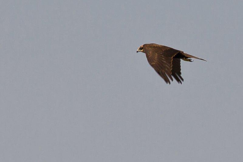 large_Marsh_Harrier_1.jpg