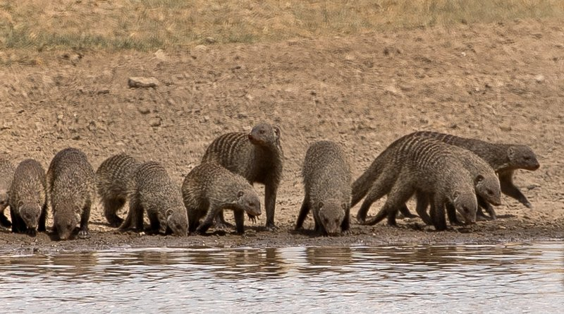 large_Mongoose__Banded_104.jpg