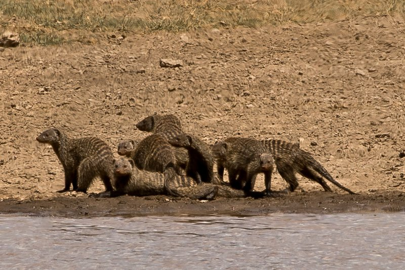 large_Mongoose__Banded_107.jpg