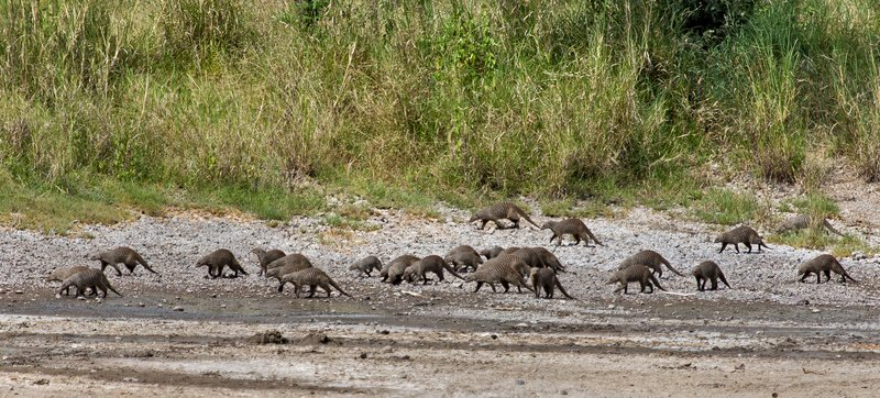 large_Mongoose__Banded_11-15.jpg