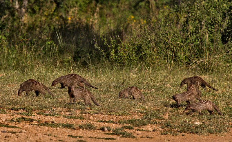 large_Mongoose__Banded_11-2.jpg