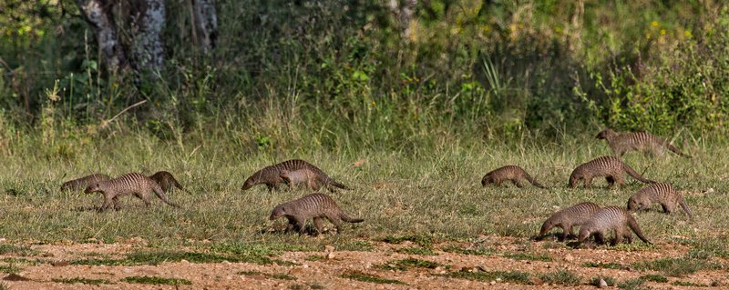 large_Mongoose__Banded_11-3.jpg