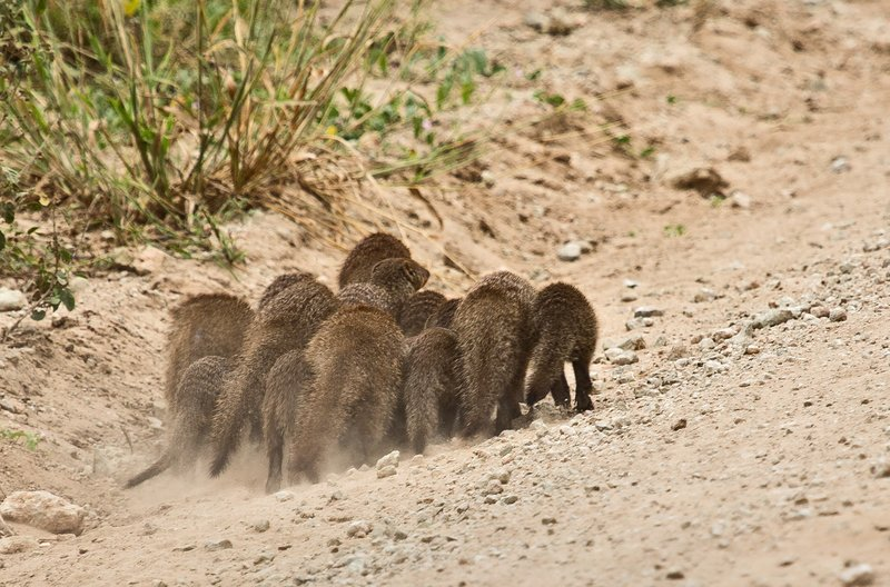 large_Mongoose__Banded_5-3.jpg