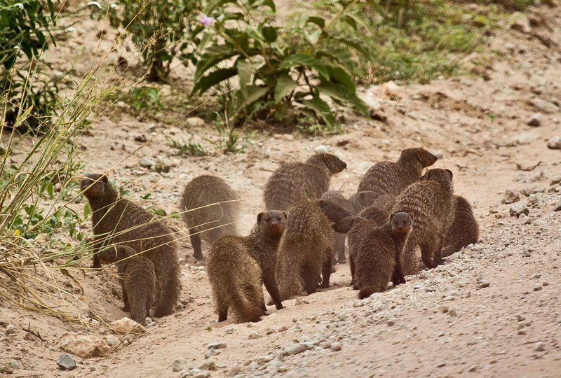 large_Mongoose__Banded_5-4.jpg