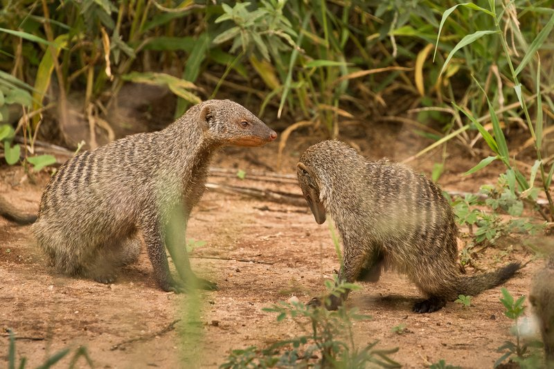 large_Mongoose__Banded_82.jpg