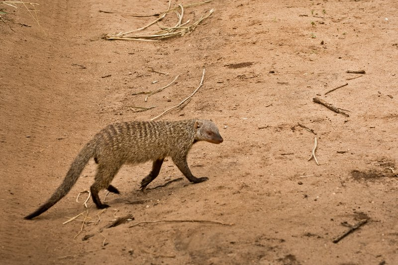 large_Mongoose__Banded_83.jpg
