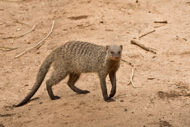 large_Mongoose__Banded_84.jpg