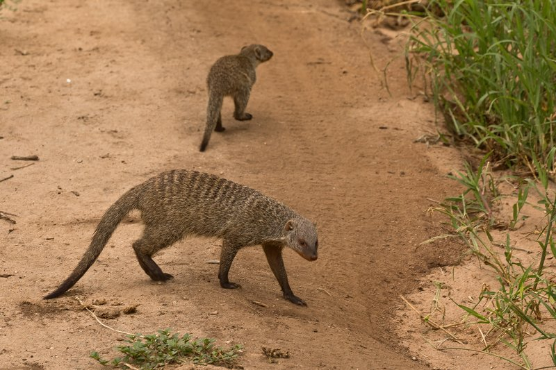 large_Mongoose__Banded_85.jpg