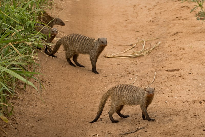 large_Mongoose__Banded_86.jpg
