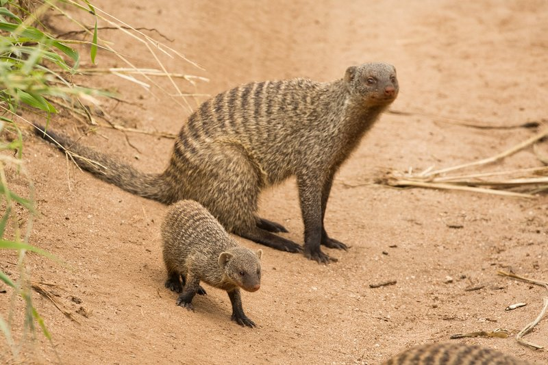 large_Mongoose__Banded_88.jpg