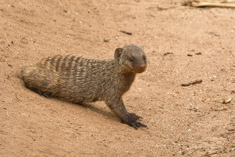 large_Mongoose__Banded_89.jpg