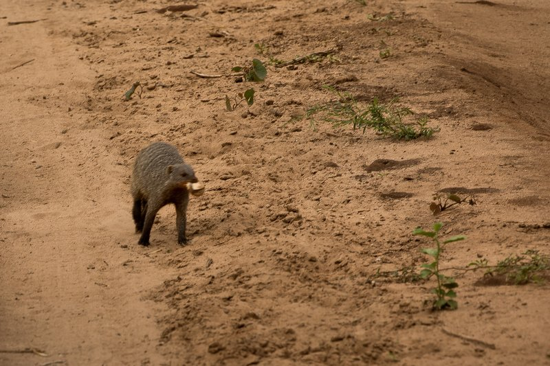 large_Mongoose__Banded_90.jpg