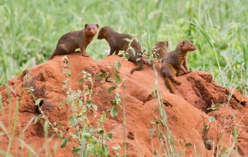 large_Mongoose__Dwarf_5-9.jpg