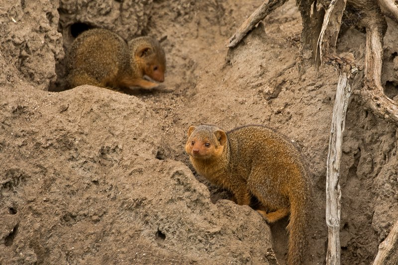large_Mongoose__Dwarf_7.jpg