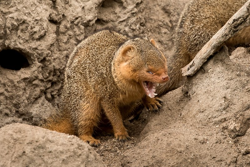 large_Mongoose__Dwarf_9.jpg