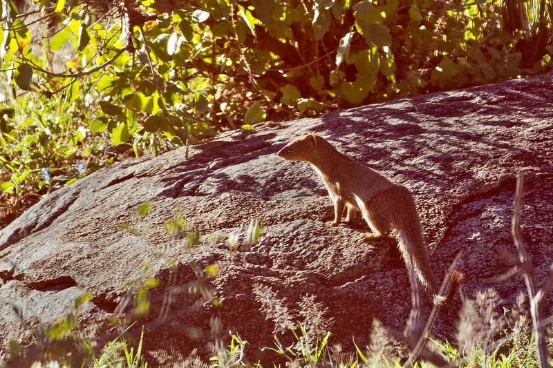 large_Mongoose__Long_Tailed_1.jpg