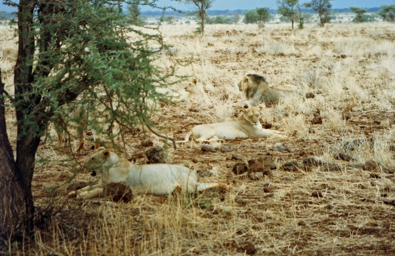 large_More_Lions..rk______115.jpg
