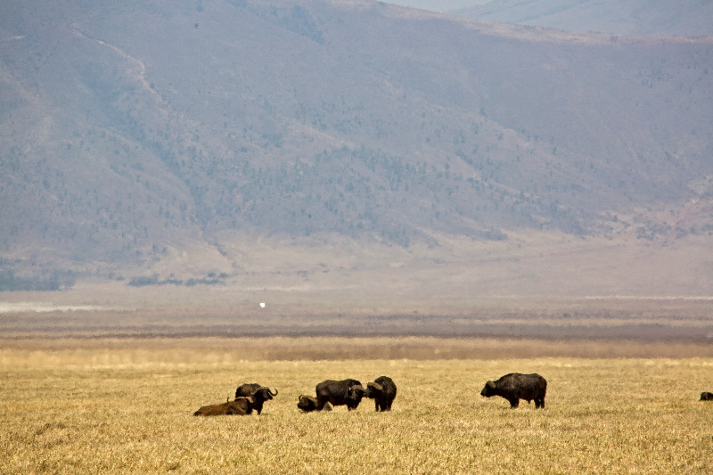 large_Ngorongoro..-_Buffalo_1.jpg