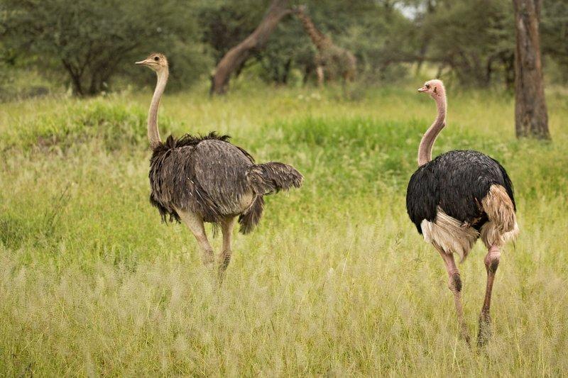 large_Ostrich_31.jpg