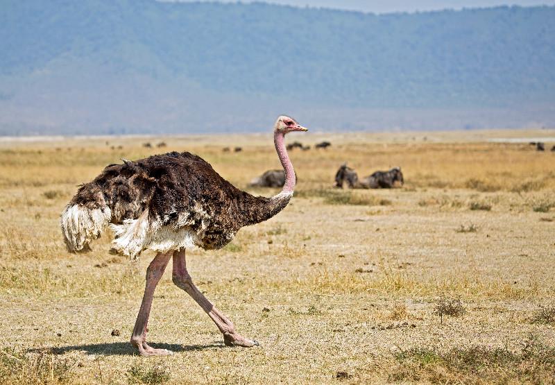 large_Ostrich_41.jpg