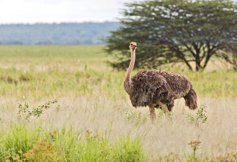 large_Ostrich_5-3.jpg
