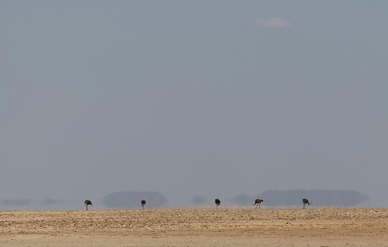 large_Ostriches_..for_Oasis_1.jpg