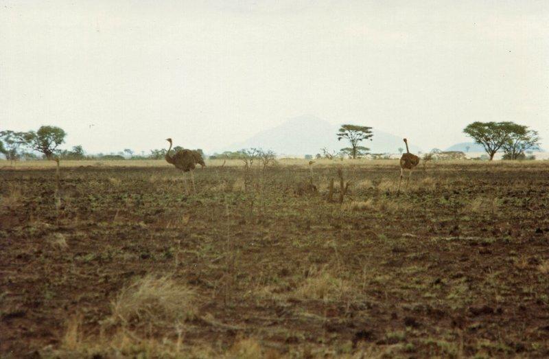 large_Ostriches_..l_Park__074.jpg