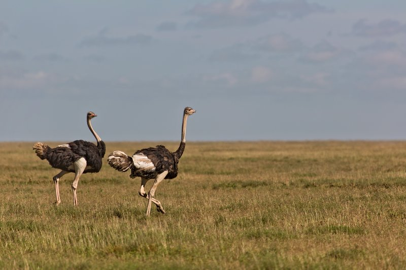 large_Ostriches_9-1.jpg
