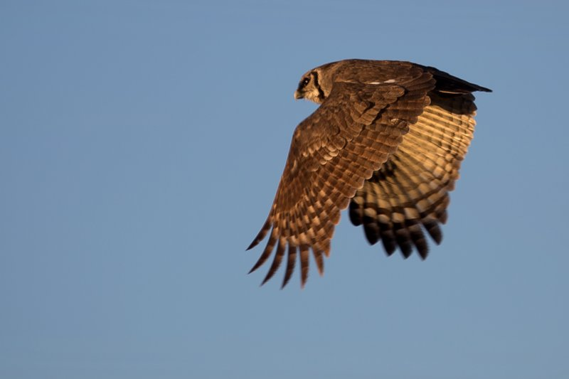 large_Owl__Verreaux_s_Eagle_8-1.jpg