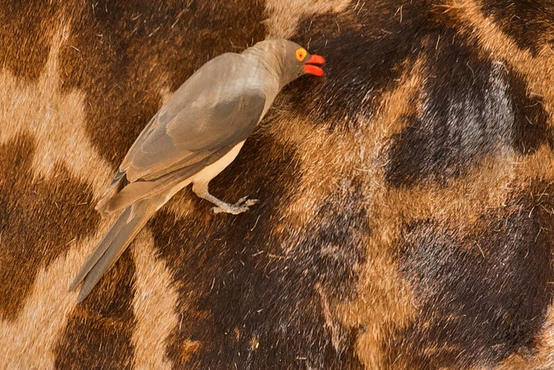 large_Oxpecker__Red_Billed_22.jpg