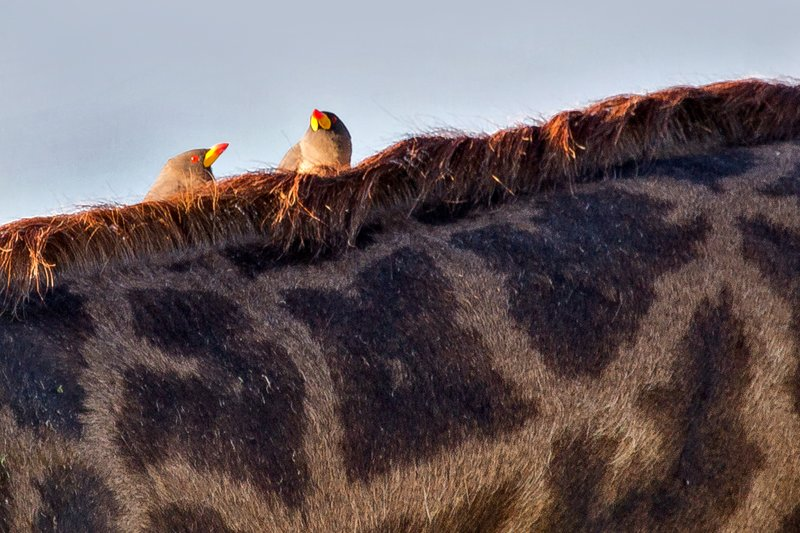 large_Oxpeckers_.._Billed_9-1.jpg