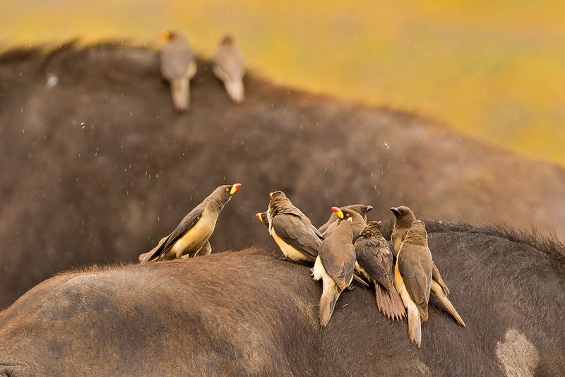 large_Oxpeckers_..ow_Billed_2.jpg