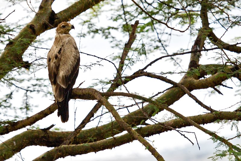 large_Pale_Tawny_Eagle_1.jpg