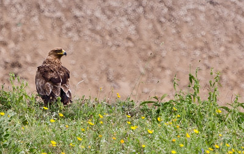 large_Pale_Tawny_Eagle_2.jpg