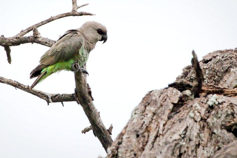large_Parrot__Brown_1.jpg