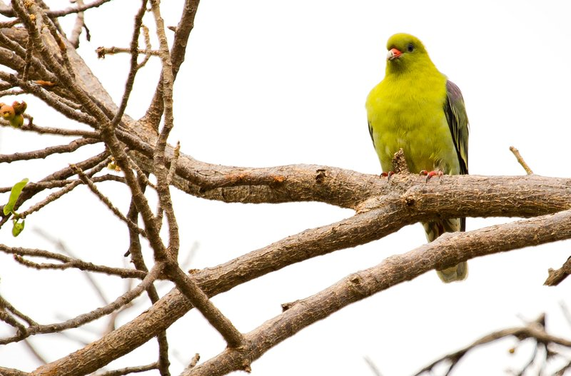 large_Parrots__A..n_Green_5-7.jpg