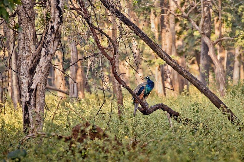 large_Peacock_51.jpg