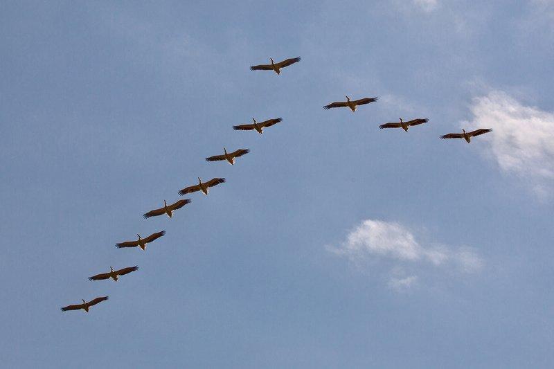 large_Pelicans_Flying_2.jpg