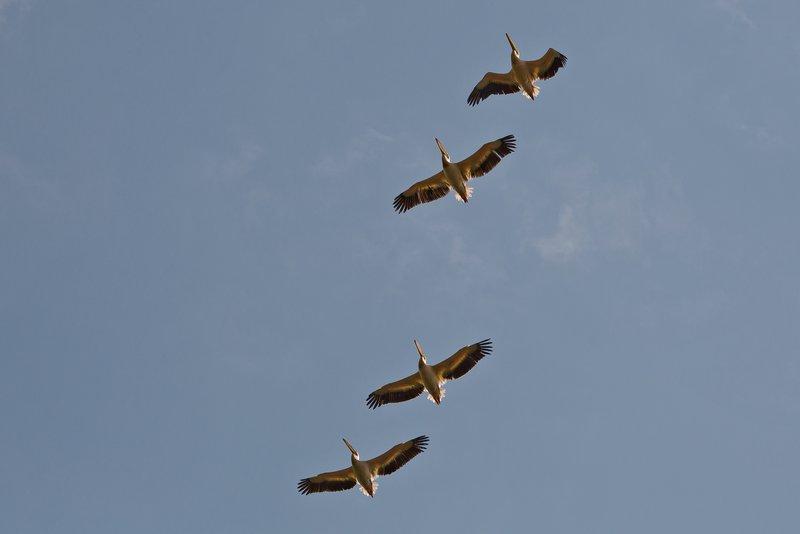 large_Pelicans_Flying_3.jpg