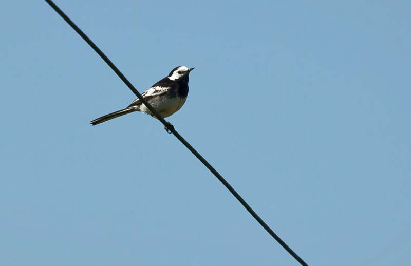 large_Pied_Wagtail_1.jpg