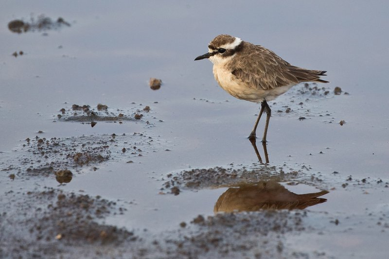 large_Plover_Kittlitz_1.jpg