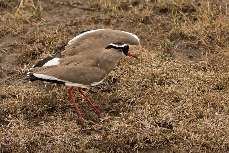large_Plover__Crowned_1.jpg